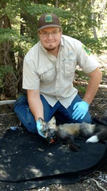 Sierra Nevada red fox collared by ODFW