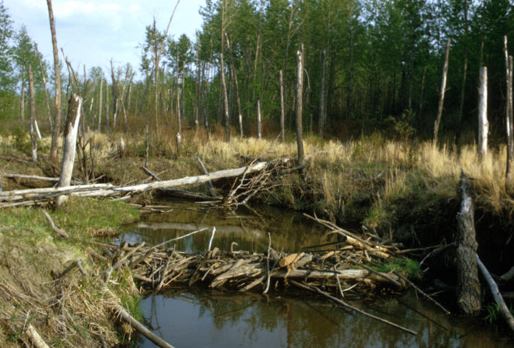 Beaver dams help create important aquatic habitat for fish and wildlife.
