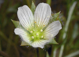 Big-flowered-wooly-meadowfoam_ODA_460.jpg