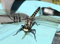 A Black Petaltail Dragonfly in a wet mountain meadow in the West Cascades.