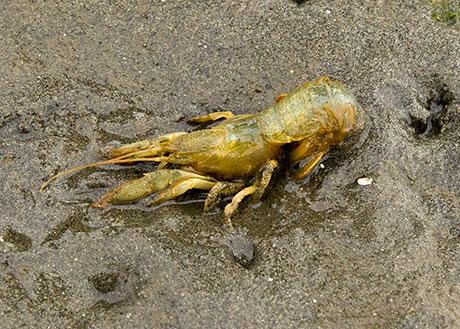 Blue_mud_shrimp_Gregory_Krutzikowsky_ODFW_460.jpg