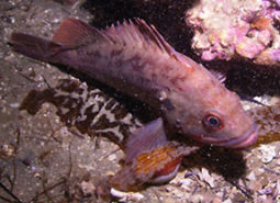 Brown_rockfish_Oregon_Coast_Aquarium_460.jpg