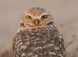Burrowing-Owl_USFWS_460.jpg