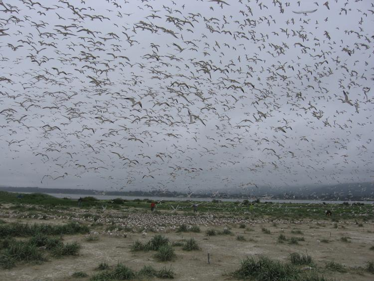 flock of birds in the air over a marsh