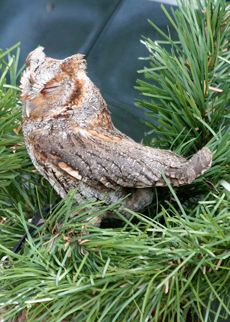 Flamulated-Owl_munsel_odfw_460.jpg