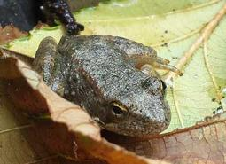 Foothill_yellow_legged_frog_juvenile_Thomas_Lossen_460.jpg