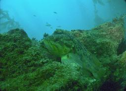 Grass_rockfish_Oregon_Coast_Aquarium_460.jpg
