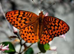 Great Spangled Fritillary_Odonata98