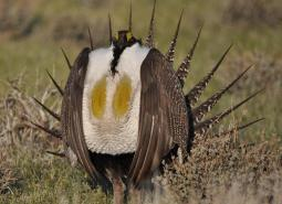 Greater Sage-Grouse_Jeannie Stafford_USFWS