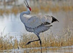 Greater Sandhill Crane dancing.
