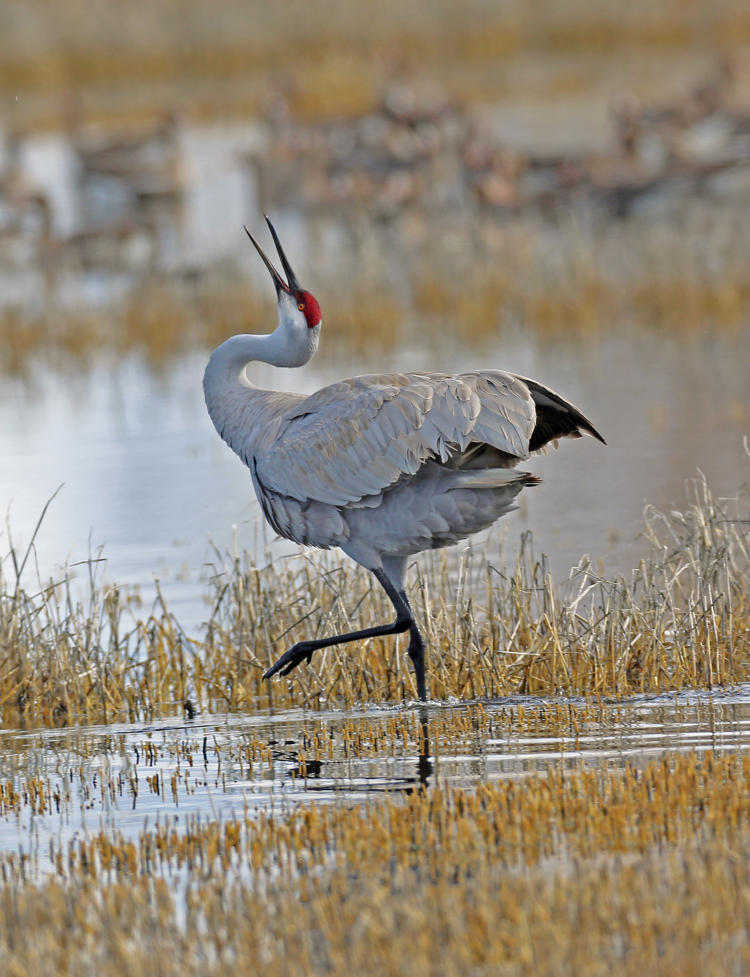 Greater Sandhill Crane dancing.
