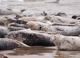 Harbor_seal_ODFW_460.jpg
