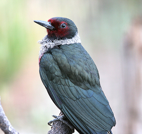 Lewis-Woodpecker_Dave-Herr_NPS_460.jpg