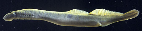 Miller-Lake-Lamprey_Doug-Markle_460.jpg