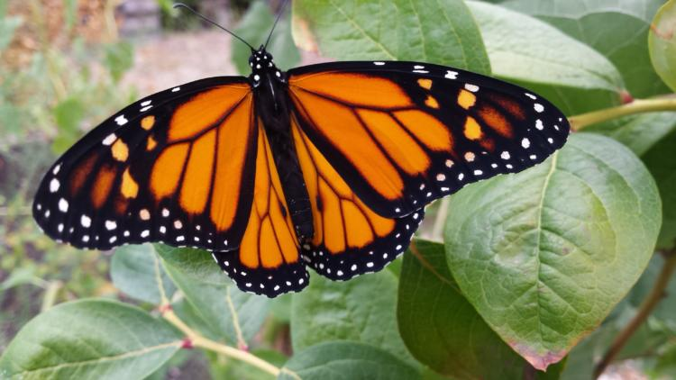 Monarch Butterfly in Corvallis, OR