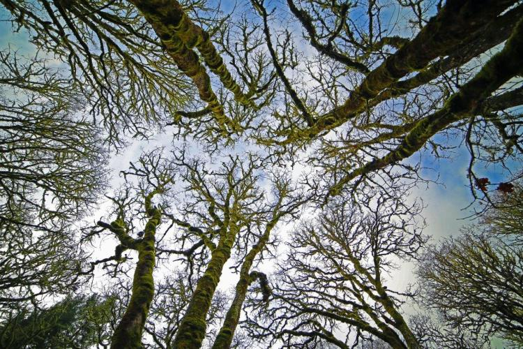 Oak woodland in the winter.