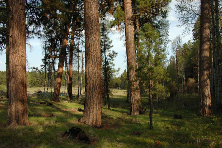 Ponderosa pine mixed with aspen trees, both of which are Strategy Habitats.