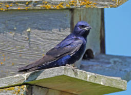 Purple Martin perched on a nest box.