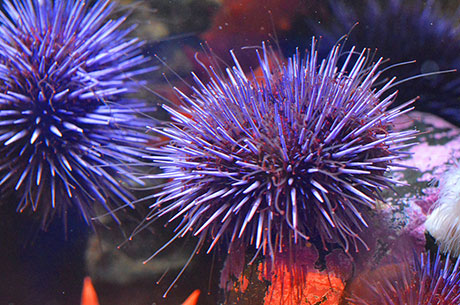 Purple_sea_urchin_Kelsey_Adkisson_460.jpg