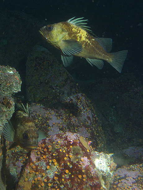Quillback_rockfish_Michael_Carver_CBNMS_NOAA_460.jpg