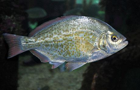 Redtail_surfperch_Oregon_Coast_Aquarium_460.jpg