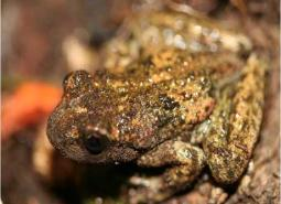 Rocky_Mountain_tailed_frog_Oregon_Caves_National_Park_Service_460.jpg