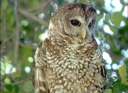 Spotted-Owl_BLM_460.jpg
