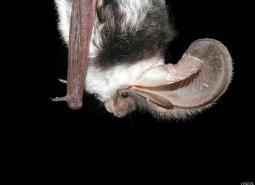 Spotted-bat_Paul-Cryan_US_460.jpg