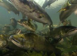 Chinook Salmon - Spring/Summer Run