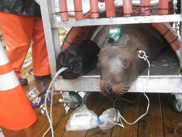 Stellar sea lion being tagged by ODFW to track its movements.