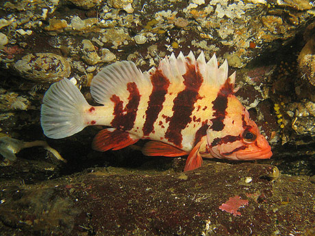 Tiger_rockfish_Janna_Nichols_460.jpg