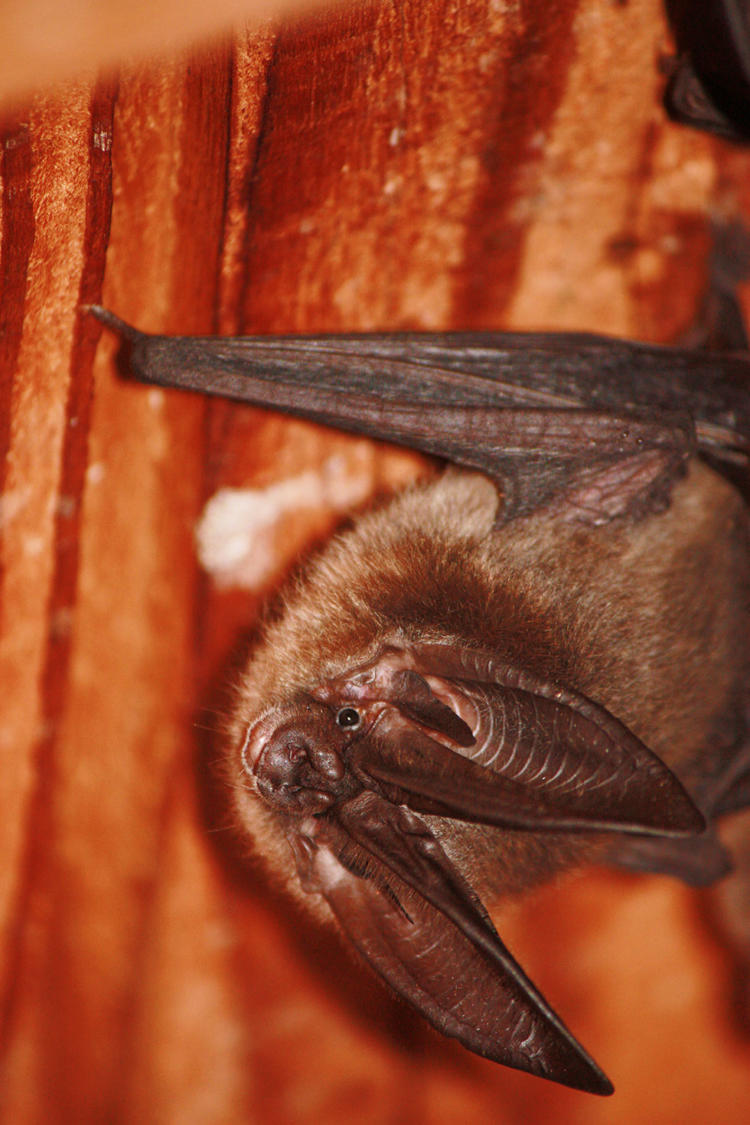 Townsend S Eared Bat