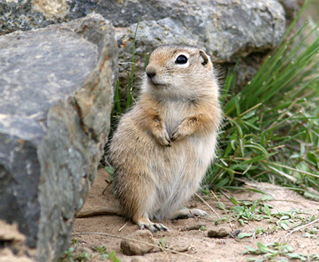 Washington-Ground-Squirrel_WDFW_460.jpg