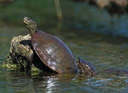 Western-Pond-Turtle_Keith-Kohl_460.jpg