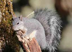 Western-gray-squirrel2_Keith-Kohl_460.jpg