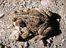 Western-toad_460.jpg