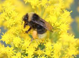 Western_bumble_bee_Rich_Hatfield_the_Xerces_Society_460.jpg