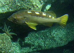 Yellowtail_rockfish_Linda_Snook_NOAA_CBNMS_460.jpg