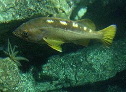 Yellowtail_rockfish_Linda_Snook_NOAA_CBNMS_460.jpg