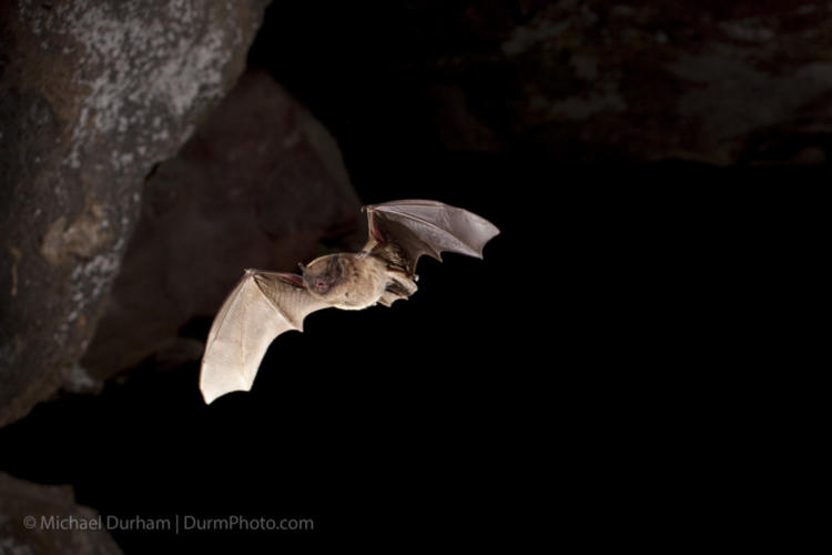A long-legged bat (Myotis volans) flying out of Pond Cave in Craters of the Moon National Monument, Idaho.