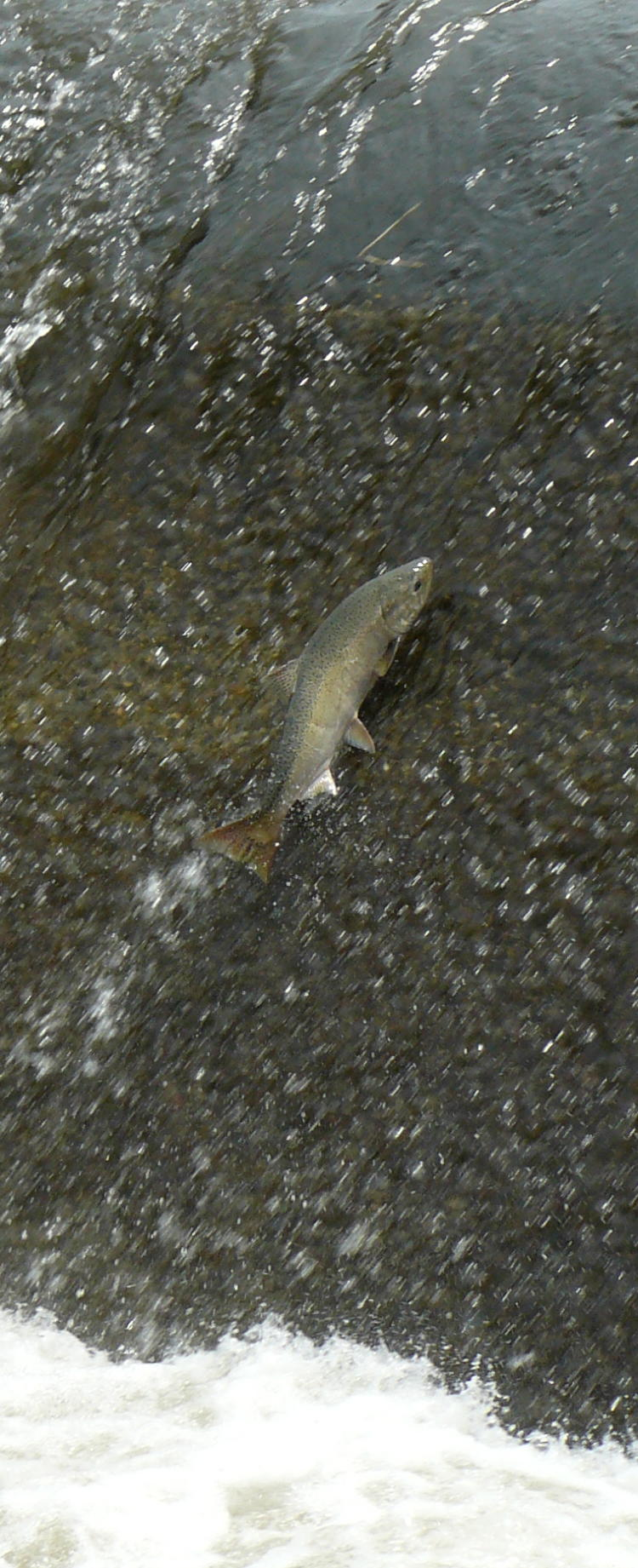 A Spring Chinook leaping at Nursery Bridge Dam in the Walla Walla River near Milton-Freewater, Oregon.