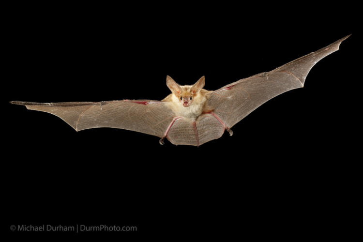 A pallid bat (Antrozous pallidus) flying at night near Sulphur Springs, high-desert habitat, Washington.
