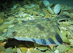 starry-flounder_credit-Taylor_Frierson_460.jpg